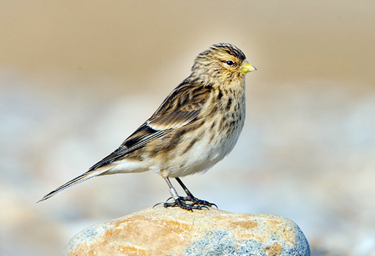 The threatened Pennine finch, also known as a twite
