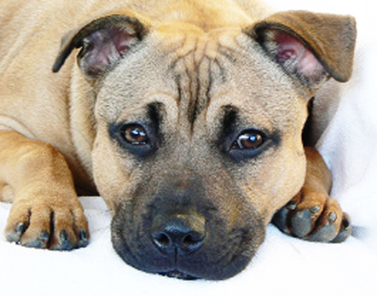 Piggles was a Staffordshire bull terrier similar to this