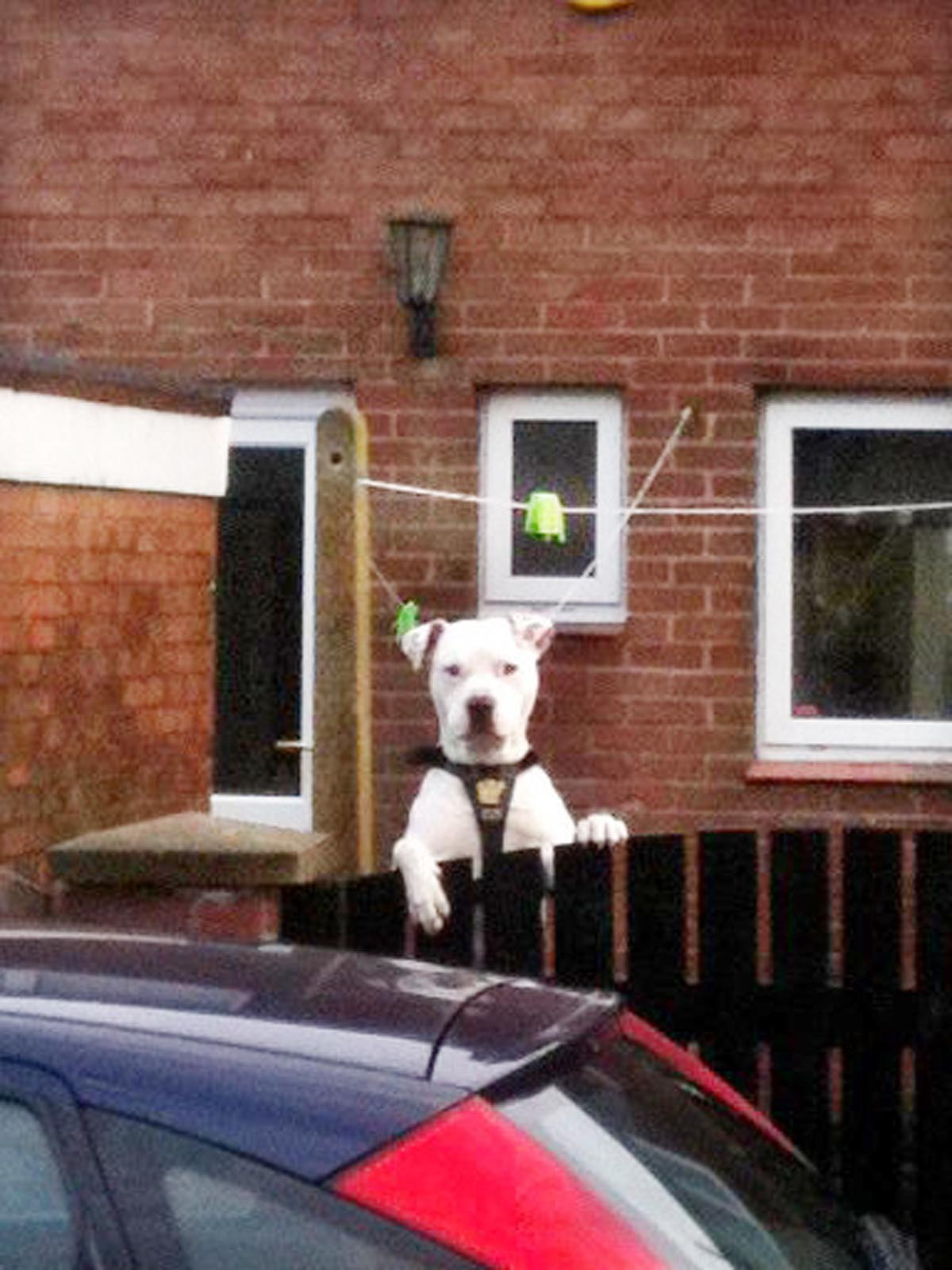 The pit bull terrier Snoop, which killed Ava-Jayne Corless