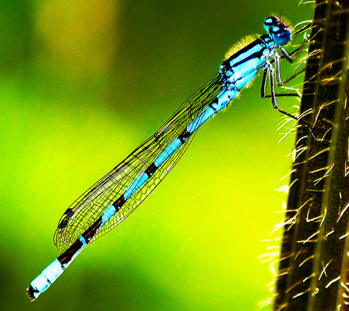 People are being asked to monitor dragonflies and damselflies