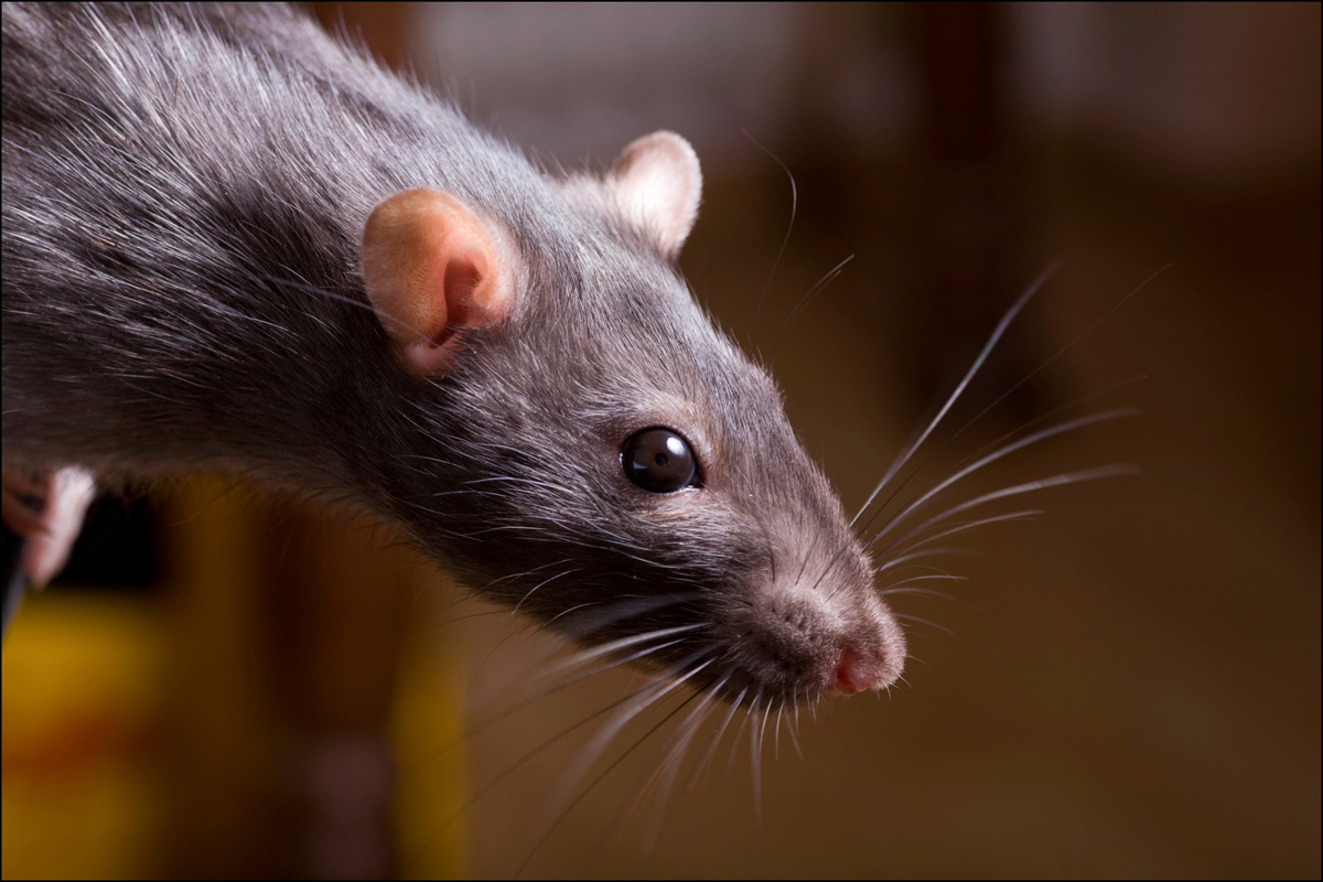 Rat nightmare for Oswaldtwistle residents