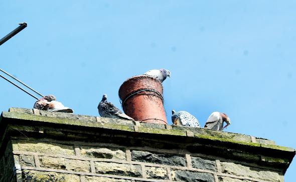 Some of the pigeons that are roosting on people's homes