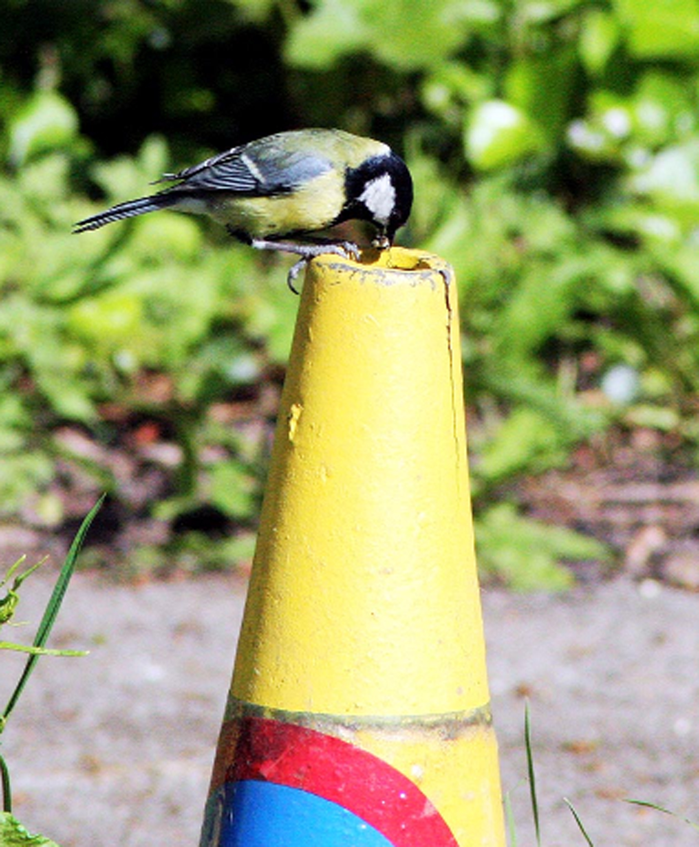 Great Tits make home in East Lancs traffic cone