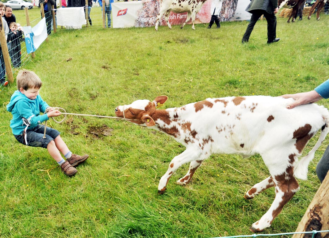 Six-year-old Thomas Partington pulls his stubborn calf Ella into the show ring at last year's show