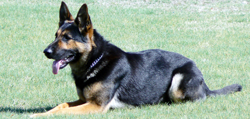 Success in Lancashire inspired a charity for retired police dogs, such as this one, to be set up in Canada