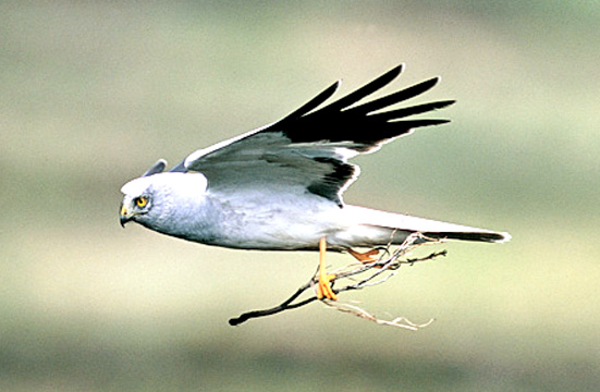 Hen Harriers produce chicks in East Lancashire