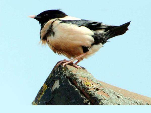 A rosy-coloured starling has made itself at home in East Lancashire