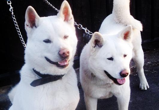 Blackburn Citizen: A pair of Akitas, similar to those involved in the incident