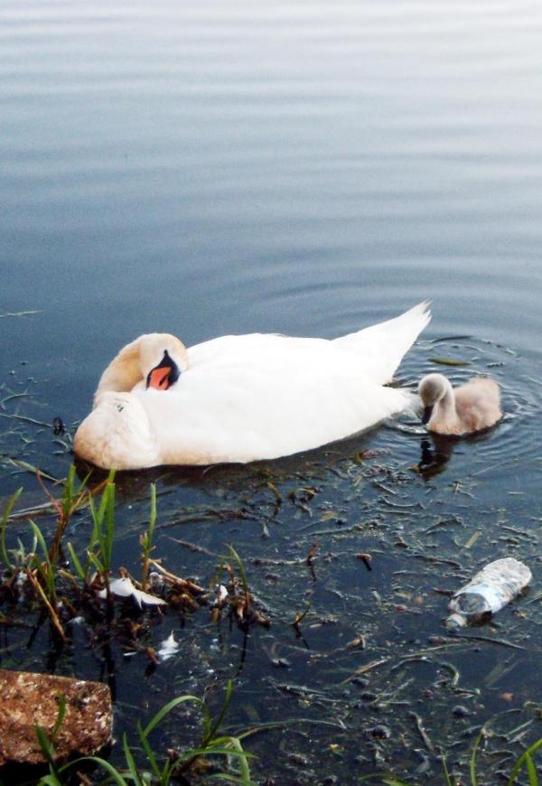 RSPCA in East Lancs swan poison probe