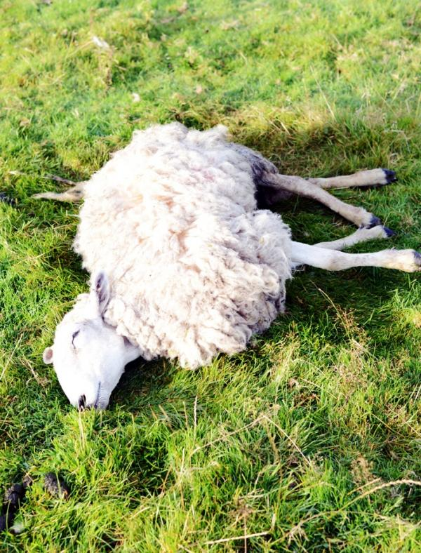 Dog walkers and a local councillor have found the sheep mauled to death in fields in Colne.
